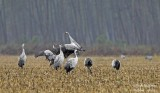 9964 Common Crane