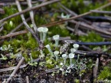MOSSES - LICHENS AND PARASITIC PLANTS