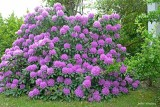 961 Rhododendron