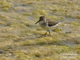 COMMON-SANDPIPER