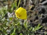 70 Yellow-wild-flower