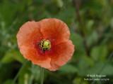 224-Poppy