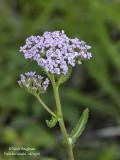 214-Achillea-millefolium