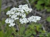 217-Achillea-millefolium