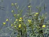 202-Ranunculus-flammula