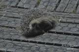 349-Hedgehog