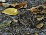 353-Hedgehog