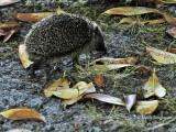 356-Hedgehog