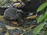 361-Hedgehog