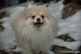 Beautiful blonde adult Pomeranian male