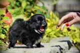 Tiny black Pomeranian Chihuahua girl $1,200