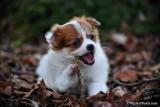 Teacup Pomeranian Chihuahuas