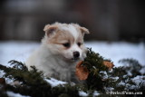 Pomeranian Chihuahua female Peaches
