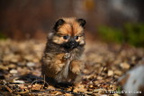 Tiny Teacup Pomeranian girl Teenie