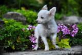 Teacup female Pomeranian Chihuahua
