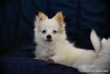 Female Teacup Pomeranian Chihuahua - Puff