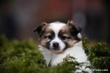 Female Pomeranian Chihuahua puppy - Sherry