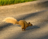 Grey Squirrel 03190 copy.jpg