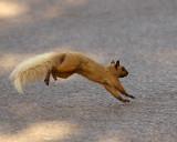 Grey Squirrel 03192 copy.jpg