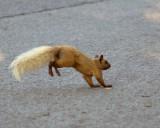 Grey Squirrel 03193 copy.jpg