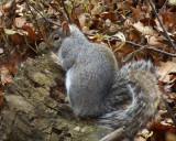 Grey Squirrel 07951 copy.jpg