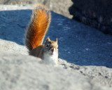 Red Squirrel 00039 copy.jpg