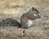 Grey Squirrel 01803 copy.jpg
