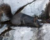 Grey Squirrel 02018 copy.jpg