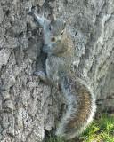 Grey Squirrel 02063 copy.jpg