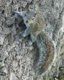 Grey Squirrel 02065 copy.jpg