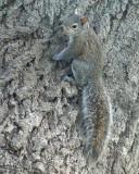 Grey Squirrel 02068 copy.jpg