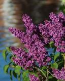 Lilacs 03887 copy.jpg