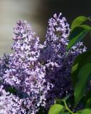 Lilacs 03889 copy.jpg