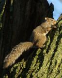 Grey Squirrel 04224 copy.jpg