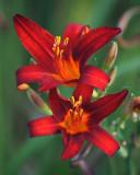 Farm Lilies07755 copy.jpg