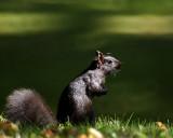Gray Squirrel 00253 copy.jpg
