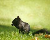 Gray Squirrel 00255 copy.jpg
