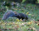 Gray Squirrel 00361 copy.jpg