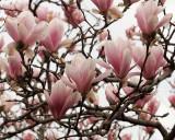 Magnolias 1277 copy.jpg