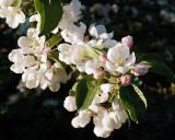 Apple Blossoms 1442 copy.jpg