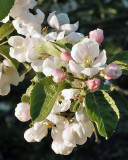 Apple Blossoms 1443 copy.jpg