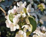 Apple Blossoms 1444 copy.jpg
