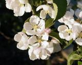 Apple Blossoms 1445 copy.jpg