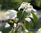 Apple Blossoms  1781 copy.jpg