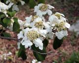 Apple Blossoms 1783 copy.jpg