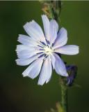 Chicory 08497 copy.jpg
