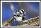 PARULINE NOIR ET BLANC   /    BLACK AND WHITE WARBLER    _MG_7568 a