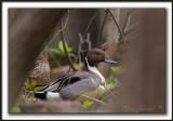 CANARD PILET, mâle   /    NORTHERN PINTAIL, male