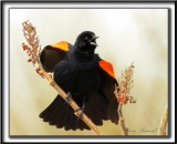 CAROUGE À ÉPAULETTES, mâle  /  RED-WINGED BLACKBIRD, male