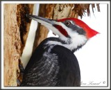 GRAND-PIC   /   PILEATED WOODPECKER    _MG_3265 aa